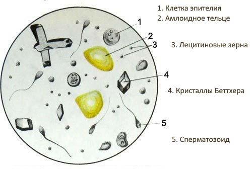 схема лецитиновых зерен