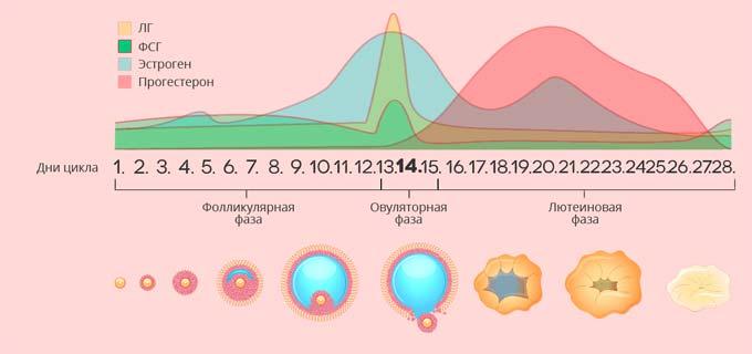 гормоны при лютеиновой фазе