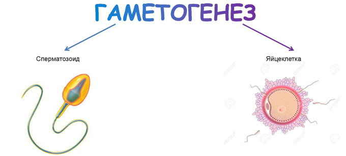 процесс гаметогенеза