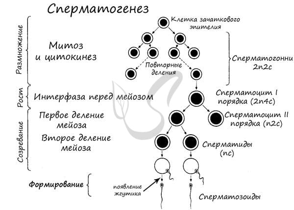 клетки сперматогенеза