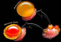 Роль желтого тела в женских яичниках
